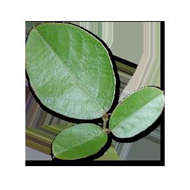 Cápsulas de Desmodium orgánico