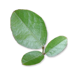 Gélules de Desmodium bio
